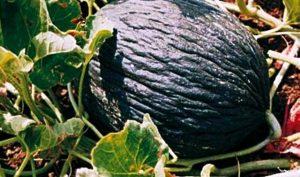 melone-invernale